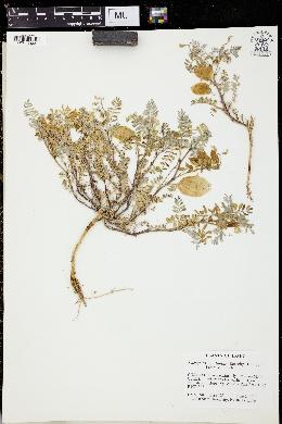 Image of Astragalus aquilonius
