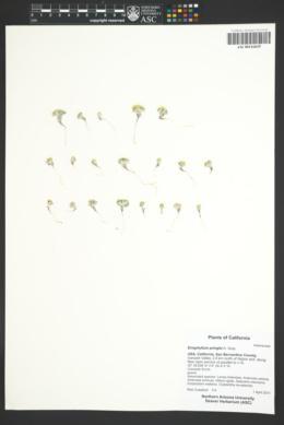 Eriophyllum pringlei image