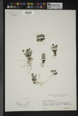 Antennaria dimorpha image
