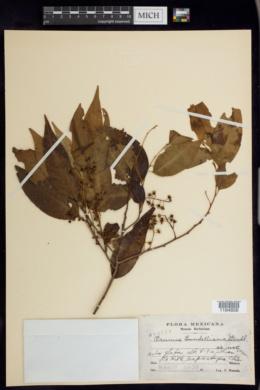 Image of Prunus lundelliana