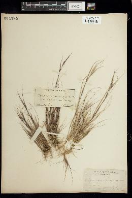 Image of Sporobolus vaginaeflorus
