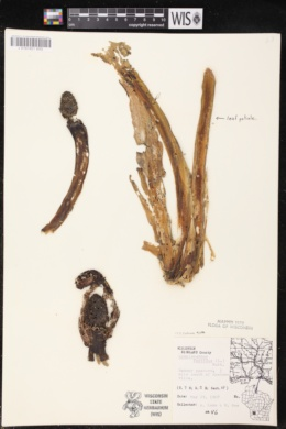Symplocarpus foetidus image