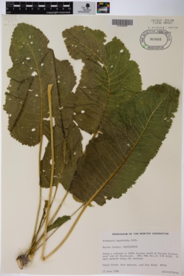 Armoracia lapathifolia image