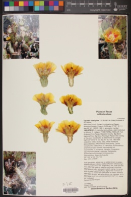 Opuntia aureispina image