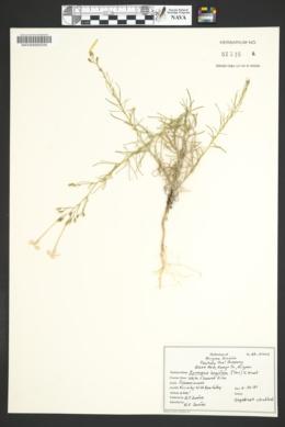 Ipomopsis longiflora subsp. longiflora image