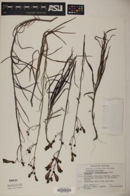 Penstemon stenophyllus image