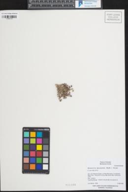 Minuartia macrantha image