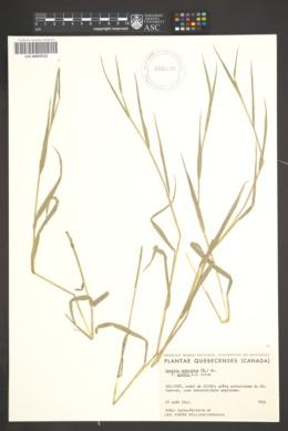 Leersia oryzoides f. glabra image