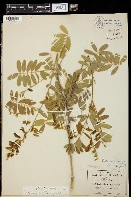 Tephrosia leiocarpa image
