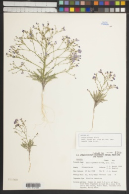 Aliciella nyensis image
