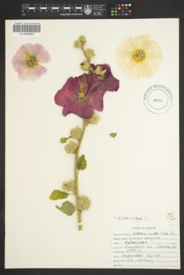 Alcea rosea image