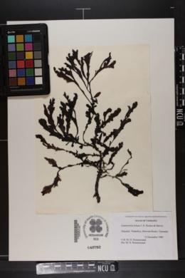 Pollexfenia lobata image