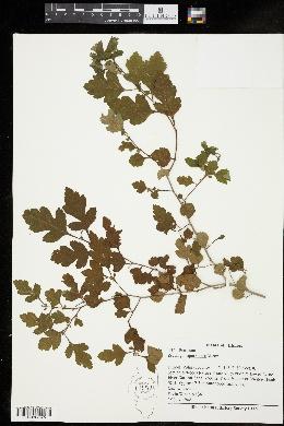 Crataegus spathulata image