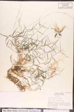 Image of Agrostis matrella