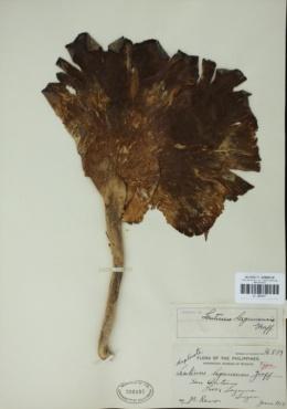 Image of Lentinus lagunensis