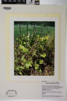 Quercus pyrenaica image