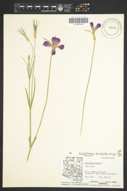Image of Agrostemma brachyloba