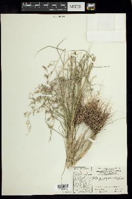 Cottea pappophoroides image