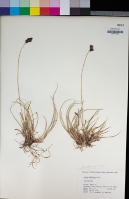 Image of Carex helleri