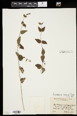 Image of Scutellaria nervosa