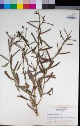 Image of Ludwigia leptocarpa