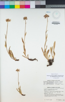 Erigeron glacialis image