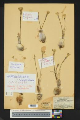 Zephyranthes longifolia image