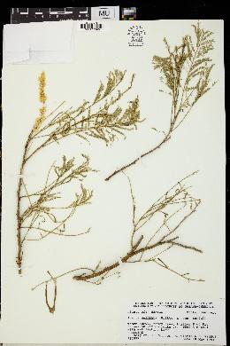 Acacia coulteri image
