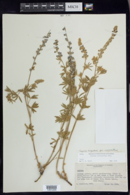 Lupinus argenteus var. meionanthus image