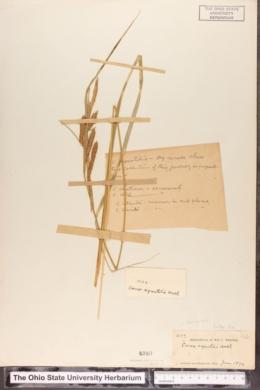 Carex aquatilis var. substricta image