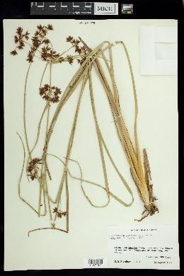 Image of Rhynchospora corymbosa