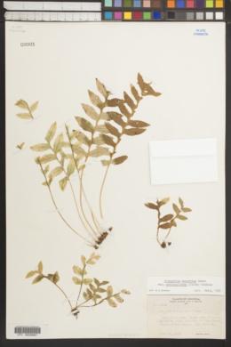 Image of Polypodium prolongilobum