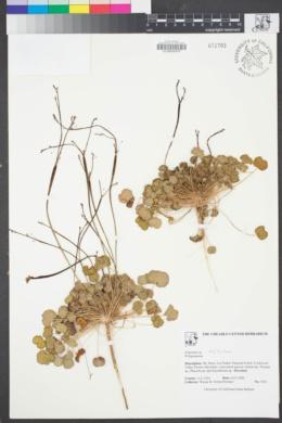 Image of Eriogonum inflatum