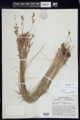 Juncus gerardii image
