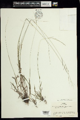 Image of Digitaria hitchcockii