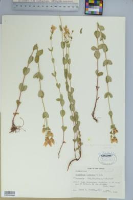 Hypericum scouleri subsp. scouleri image