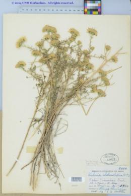 Brickellia eupatorioides image
