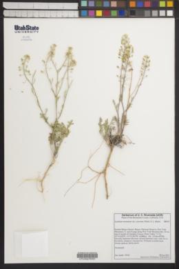 Lepidium montanum var. cinereum image