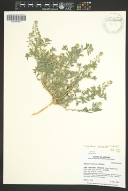 Alyssum minus image
