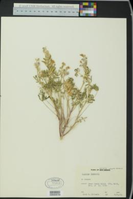 Lupinus lemmonii image