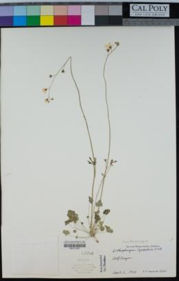 Lithophragma cymbalaria image