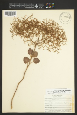 Eriogonum corymbosum var. orbiculatum image