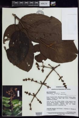 Image of Heteropterys admirabilis