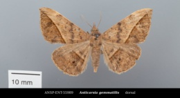 Anticarsia gemmatalis image