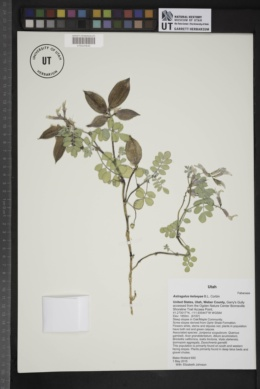 Image of Astragalus kelseyae