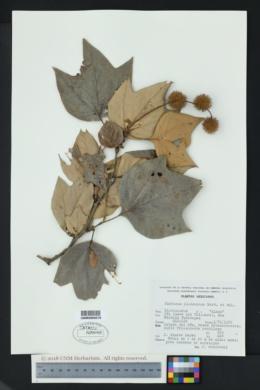 Platanus mexicana image