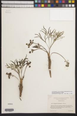 Image of Orogenia fusiformis