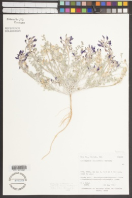 Image of Astragalus callithrix