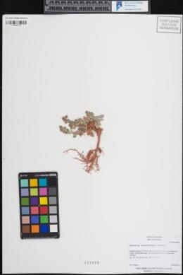 Physaria scrotiformis image