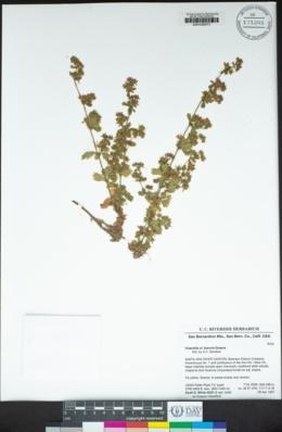 Potentilla biennis image
